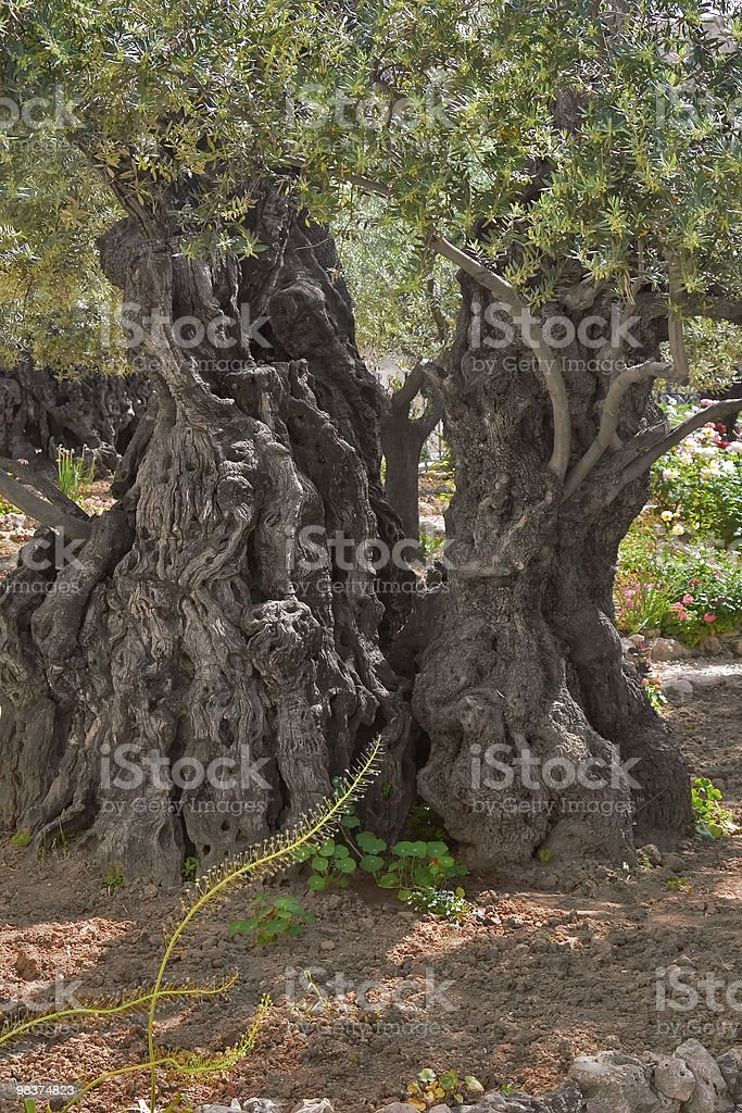 Ancient olive tree. royalty-free stock photo