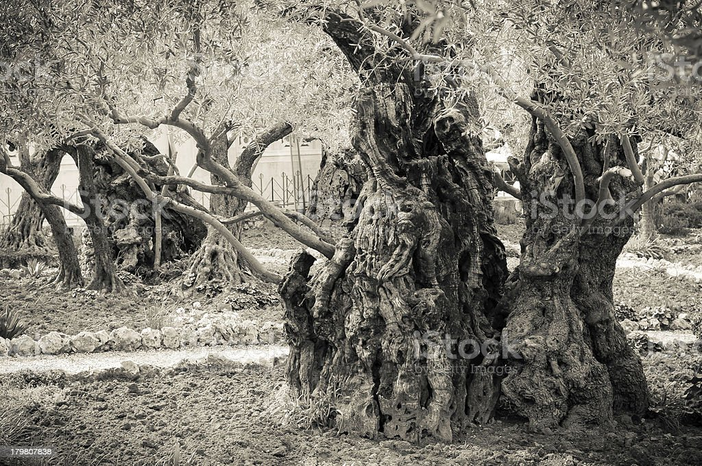 Ancient olive trees in the garden of Getsemane royalty-free stock photo
