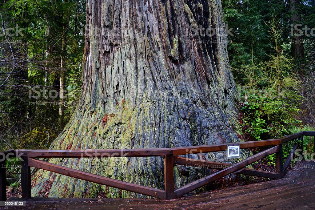 Ancient Redwood stock photo