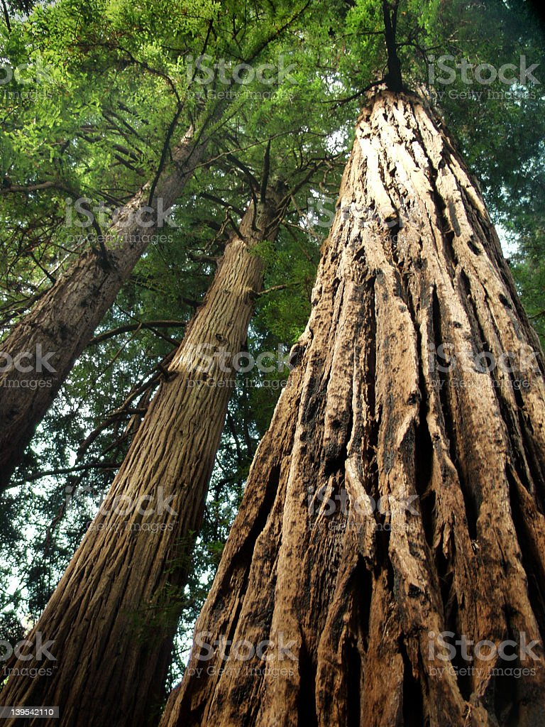 Ancient redwoods Muir Woods California royalty-free stock photo