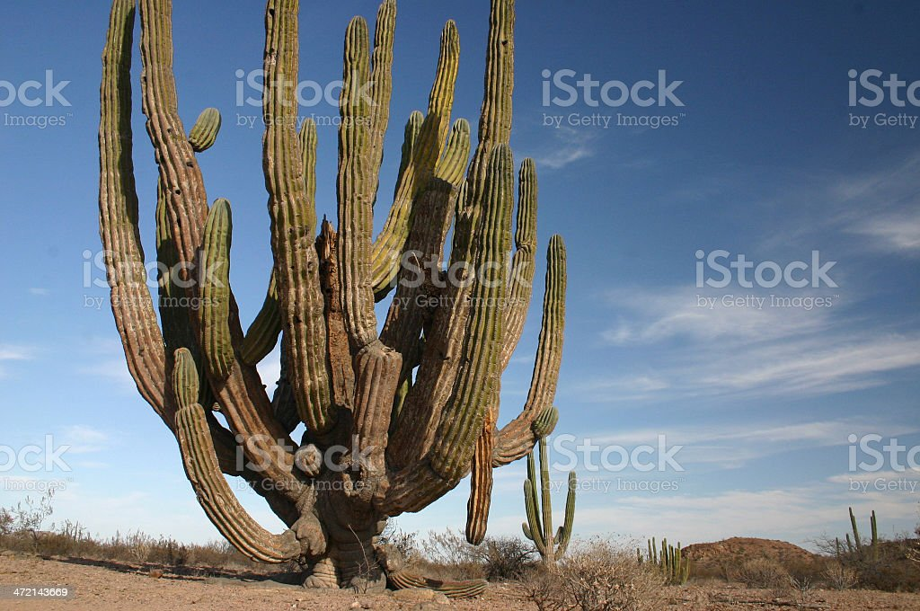 Ancient saguaro cactus in the Sonoran desert royalty-free stock photo