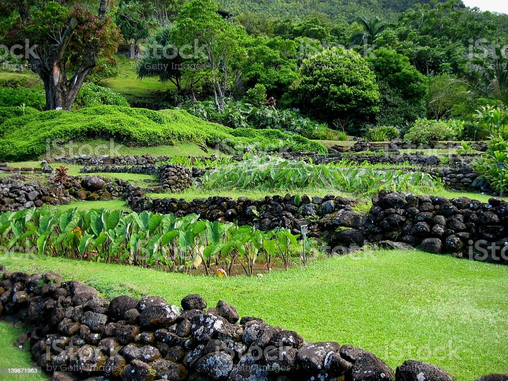 Ancient Taro Gardens royalty-free stock photo