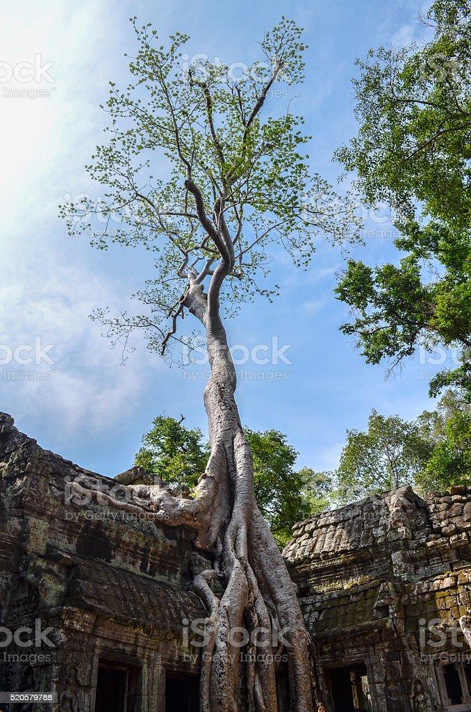 Ancient Tree in Cambodia stock photo