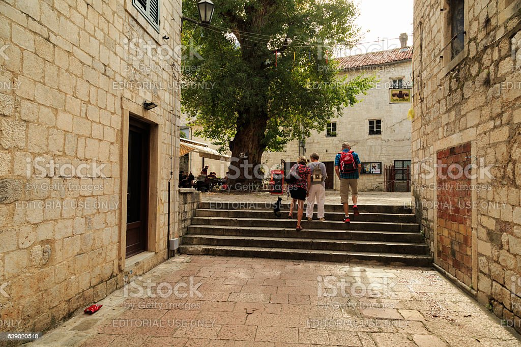 ancient tree in the old city of Kotor stock photo