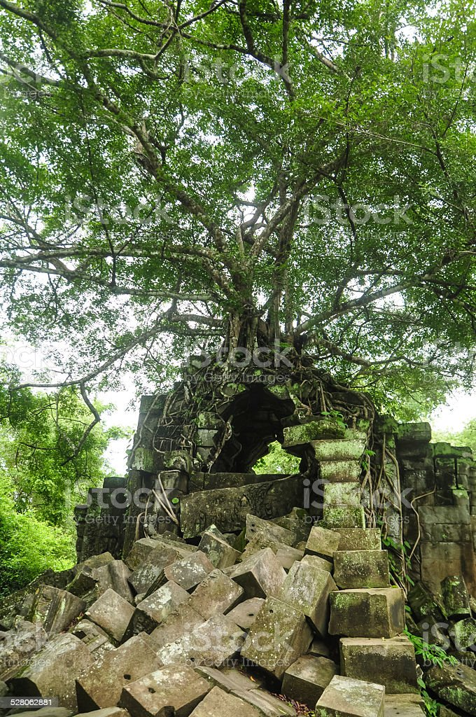 Ancient tree intertwined with old temple rubbles royalty-free stock photo
