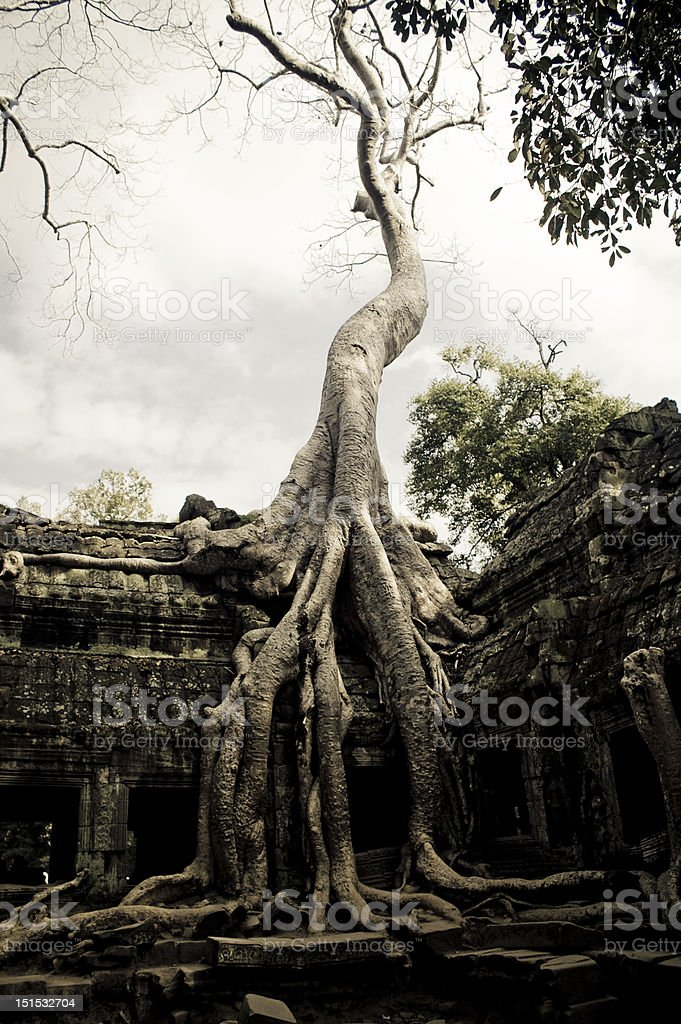 Ancient tree royalty-free stock photo