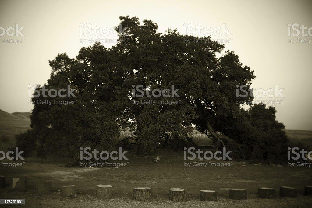 Ancient tree royalty-free stock photo