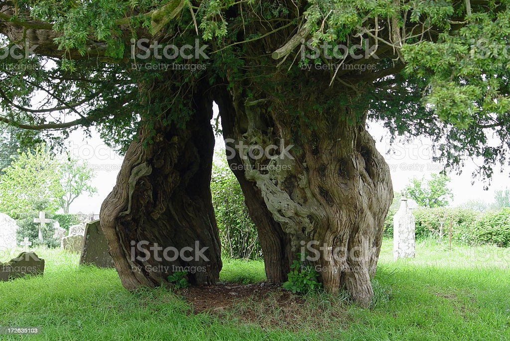 Ancient Yew tree stock photo