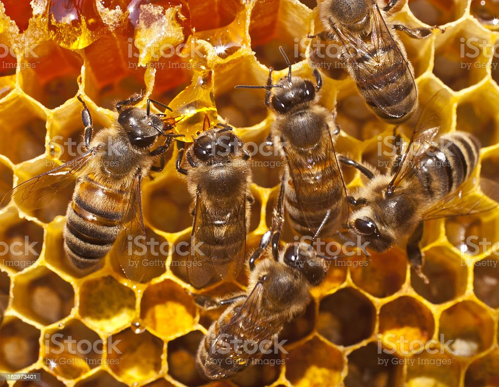 And a drop of honey bees royalty-free stock photo