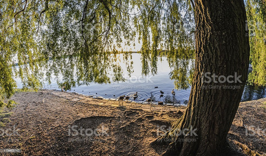 And the geese go to sleep royalty-free stock photo