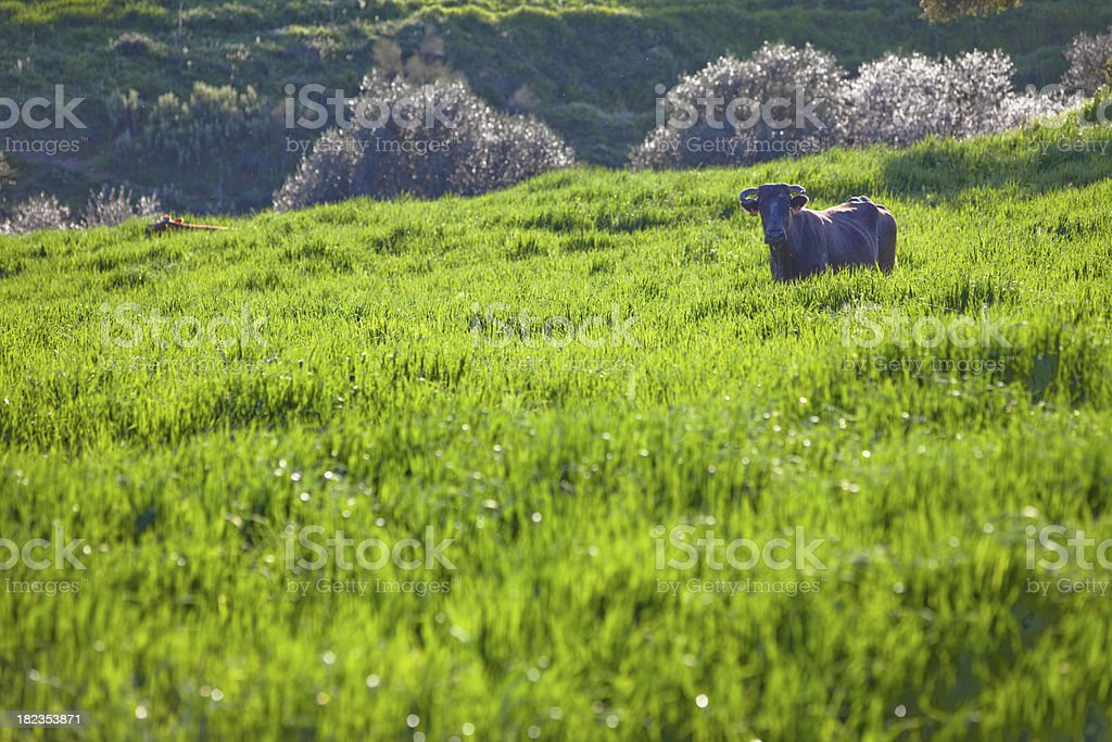 Andalucia, Pastoral Spain and Cattle royalty-free stock photo