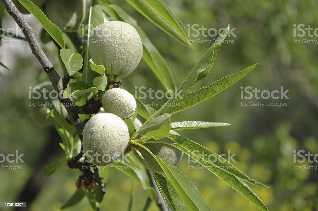 Andalusia wild almond nuts on tree in Spain stock photo