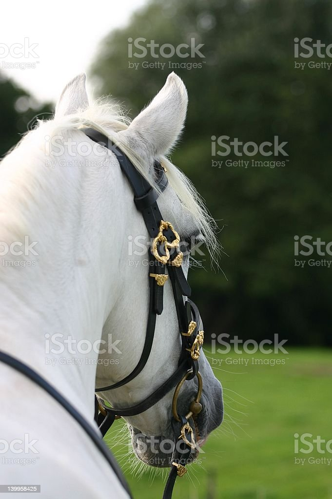 Andalusian: backview stock photo