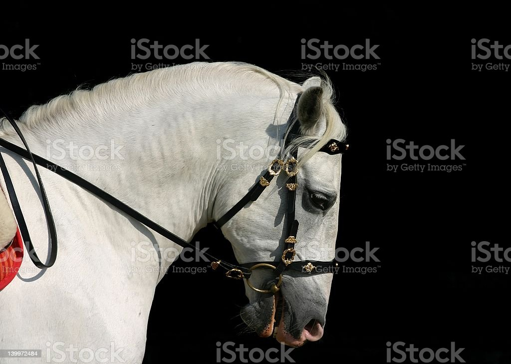 Andalusian horse at work stock photo
