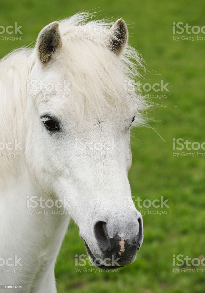 Andalusian Horse Foal Stallion Colt royalty-free stock photo