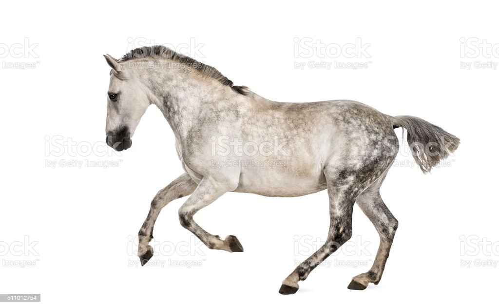 Andalusian horse galloping stock photo