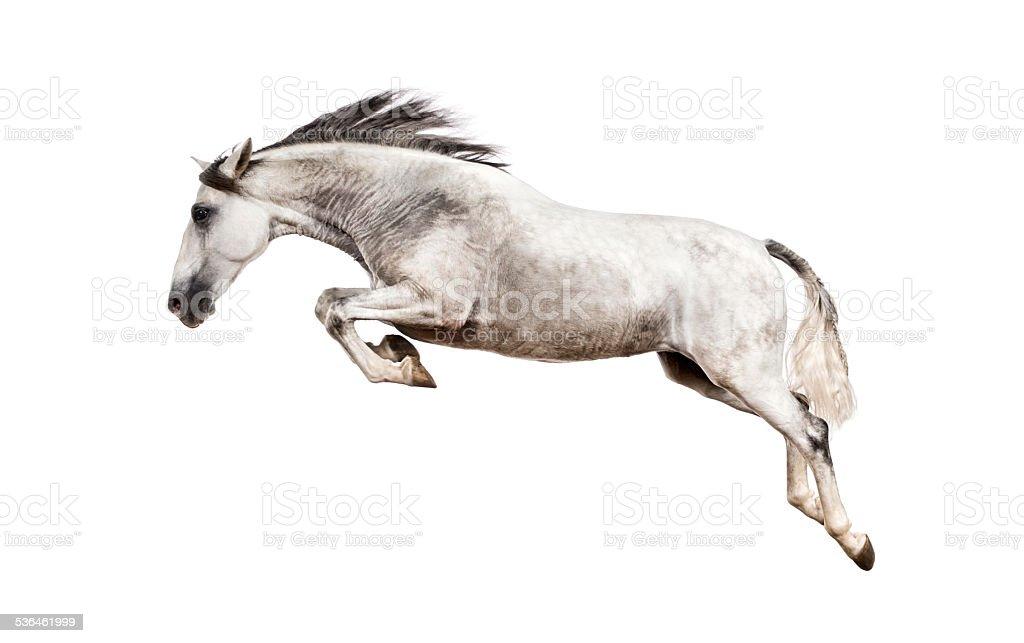 Andalusian horse jumping stock photo