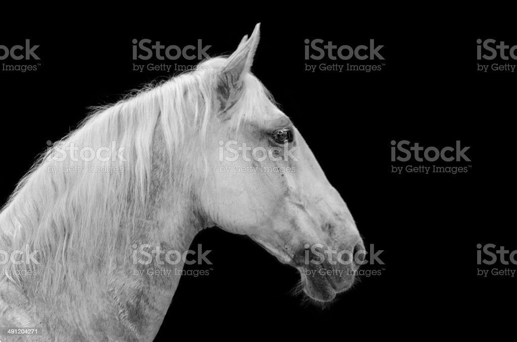 Andalusian horse on black stock photo
