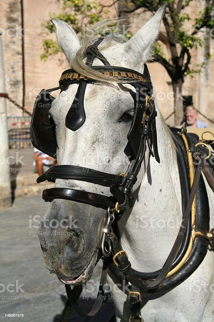Andalusian horse royalty-free stock photo