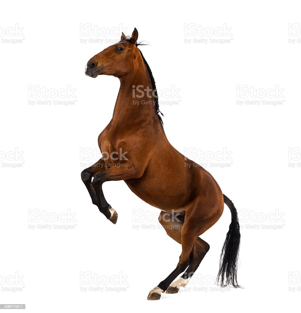Andalusian horse rearing stock photo