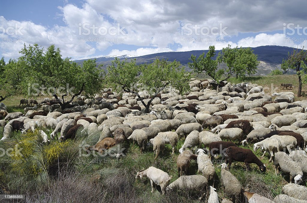 Andalusian sheep grazing in Alpujarras, Spain stock photo