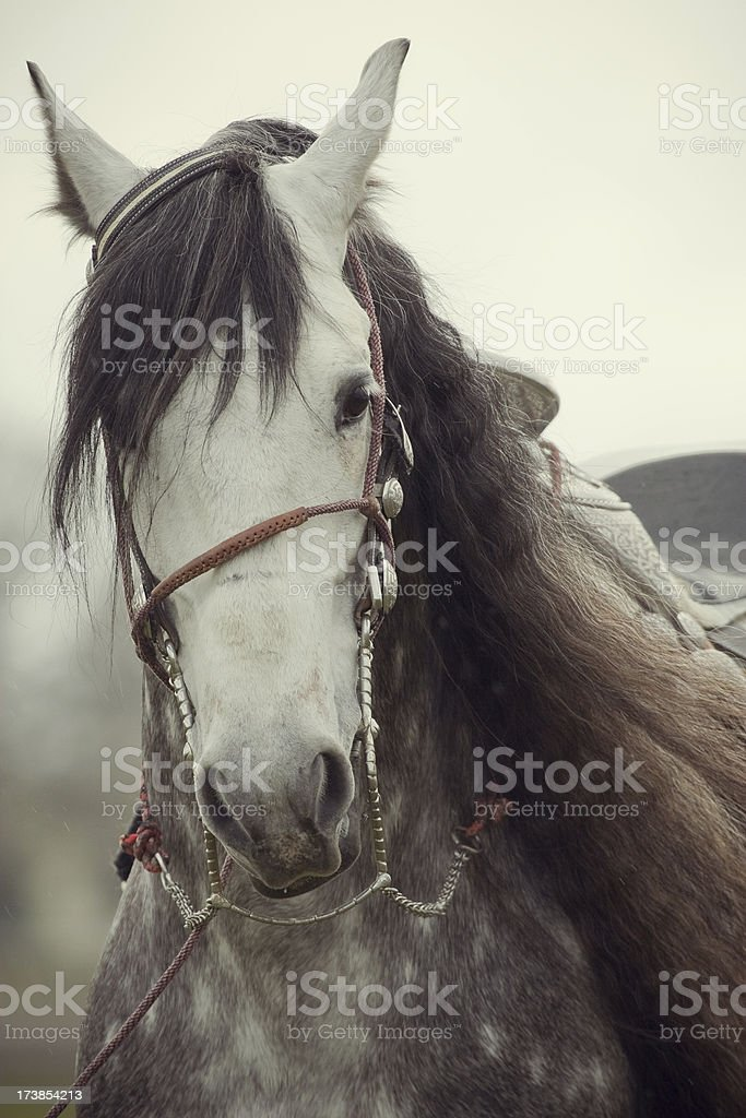 Andalusian Stallion royalty-free stock photo