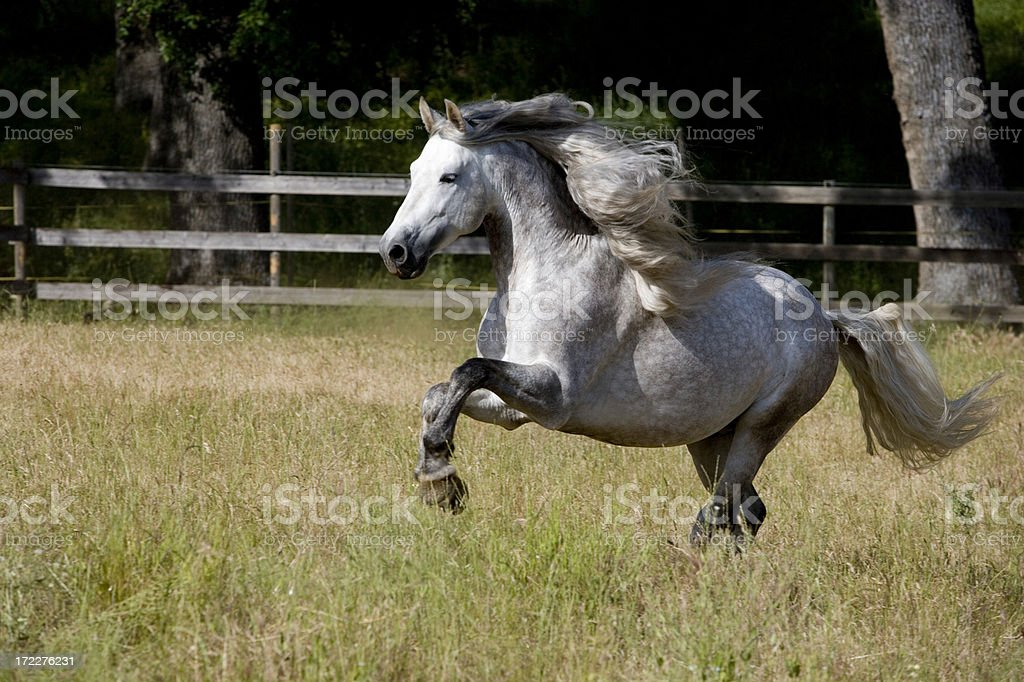Andalusian stallion Running Pasture Mane PRE royalty-free stock photo
