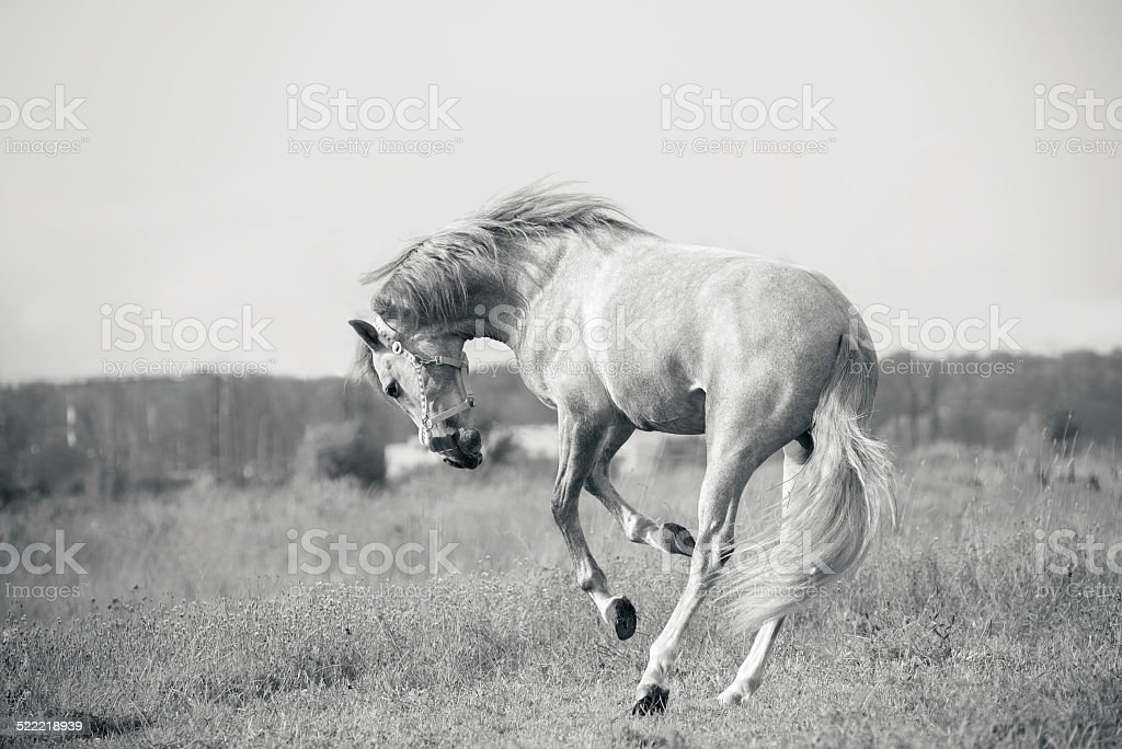 andalusian white horse playing stock photo