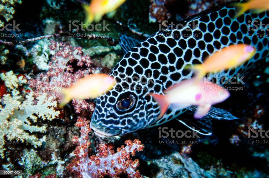 Andaman Sweetlips - Thailand (In focus) royalty-free stock photo