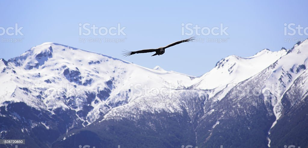 Andean Condor flying over Patagonia stock photo