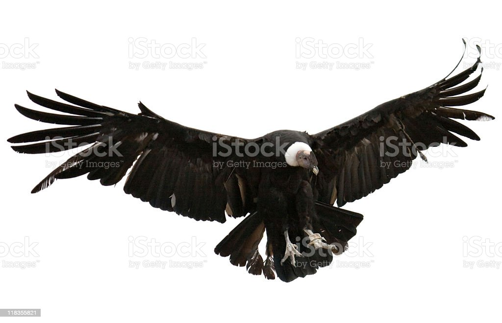 Andean Condor on white background royalty-free stock photo