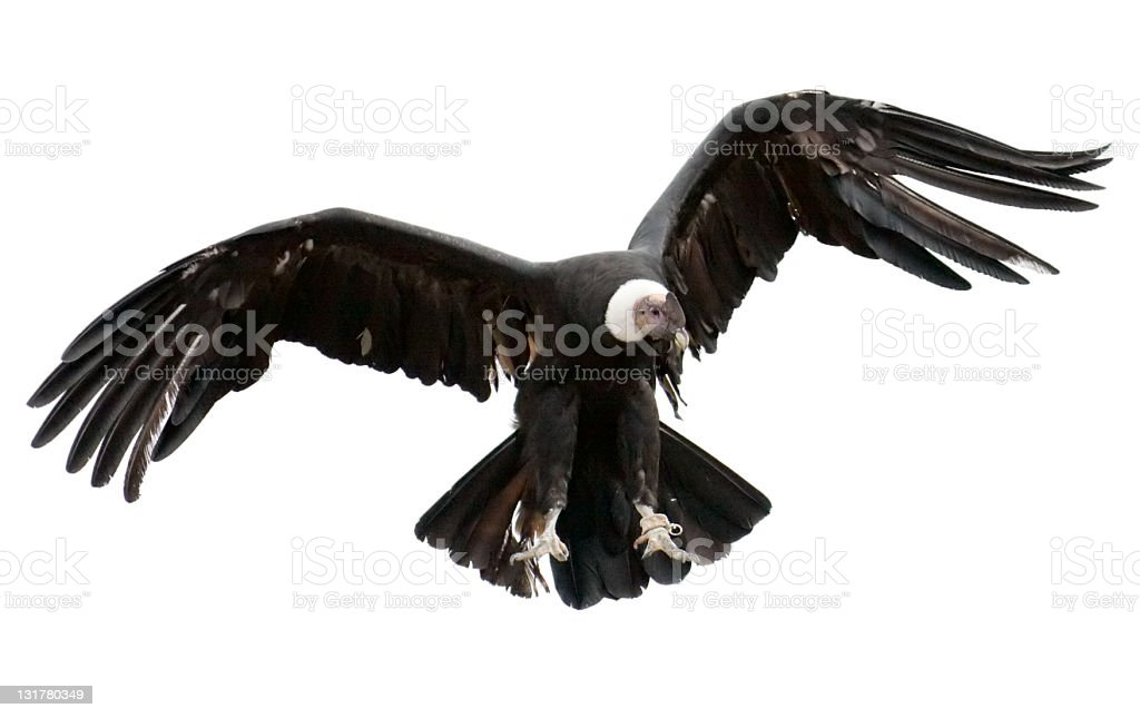 Andean Condor on white background stock photo