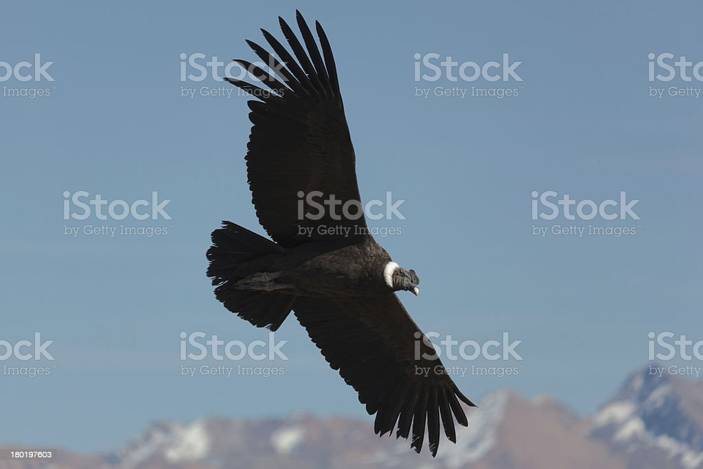 Andean Condor (Vultur gryphus) stock photo