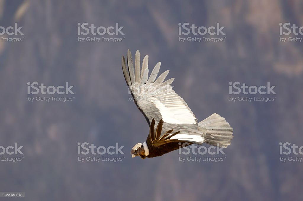 Andean Condor stock photo