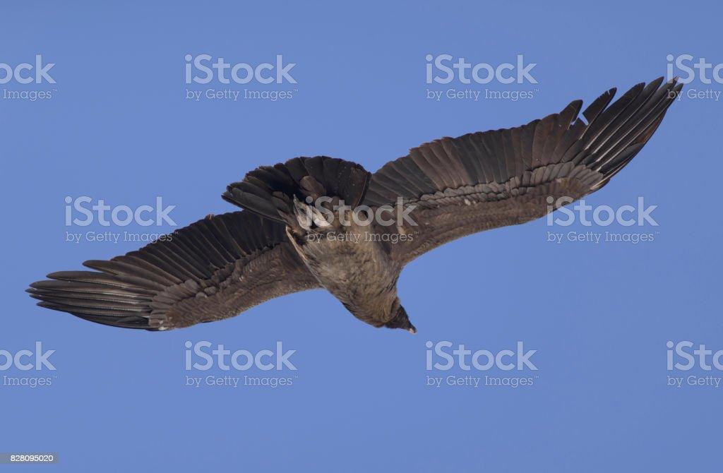 Andean Condor, Vultur Gryphus. stock photo