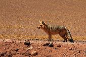Andean fox, lycalopex culpaeus, also known as zorro culpeo. Atacama