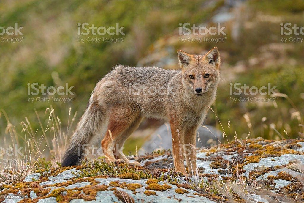 Andean Fox on a Coastal Beach stock photo