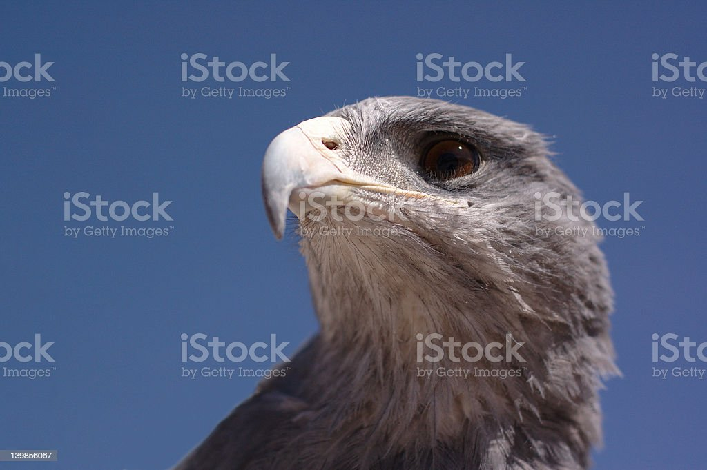 Andean Raptor royalty-free stock photo