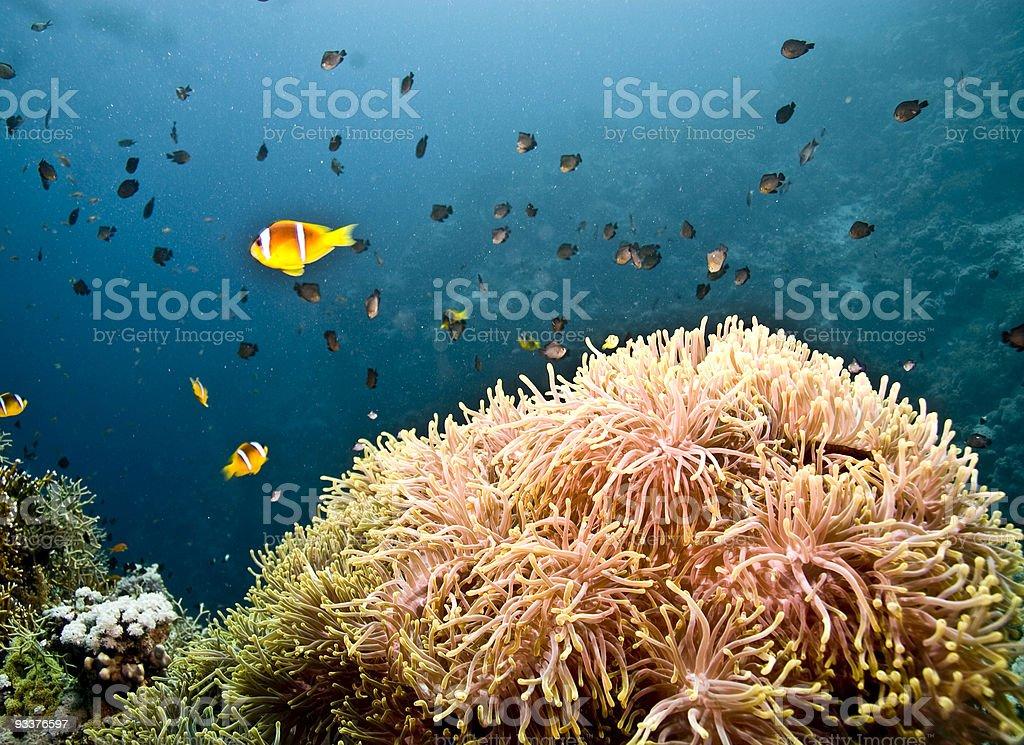 anemone at anemonecity royalty-free stock photo