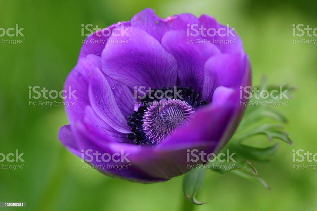 Anemone blanda royalty-free stock photo