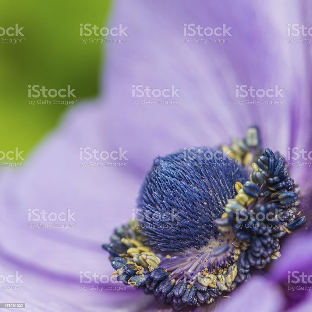 Anemone Blues royalty-free stock photo