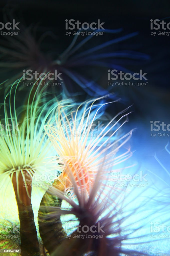 Anemone Cerianthus Actiniaria Reef Sea Life stock photo
