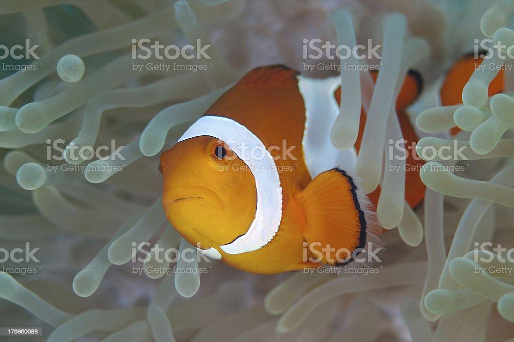 Anemone clownfish royalty-free stock photo