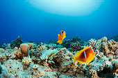 Anemone clownfish  Underwater  Sea life    Scuba Diver Point of View