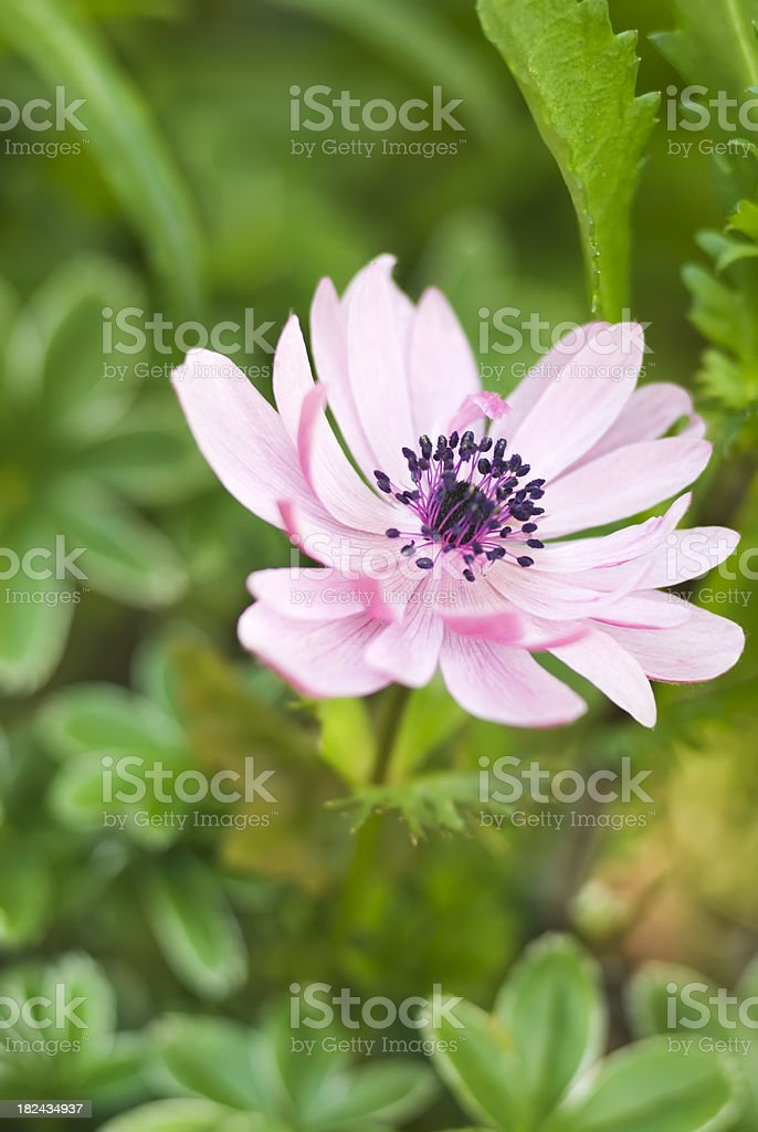 Anemone coronaria de Caen Group royalty-free stock photo