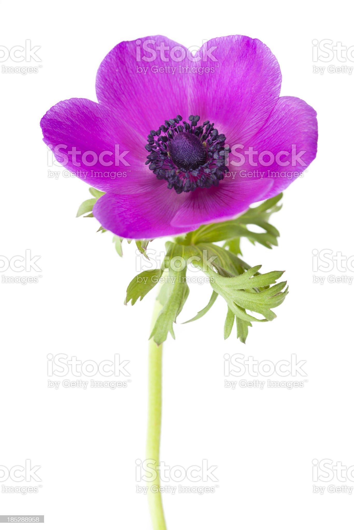 Anemone coronaria Flower royalty-free stock photo