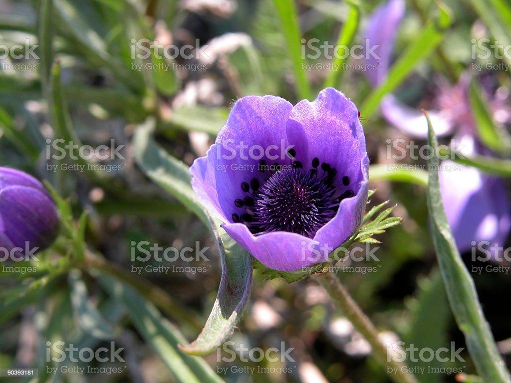 Anemone Coronaria, Poppy flower royalty-free stock photo