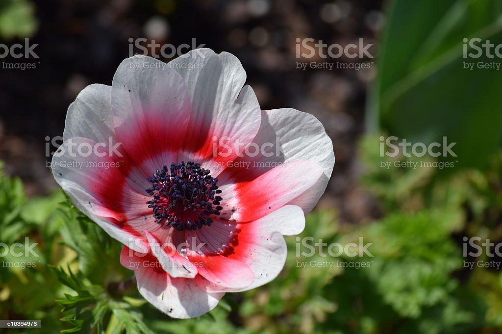anemone coronaria windflower stock photo