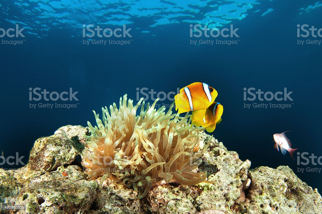Amphiprion bicintus Anemonenfisch - foto royalty-free