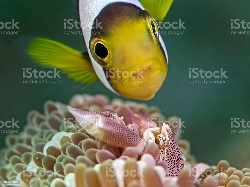 Anemone Fish meets Porcelain Crab stock photo